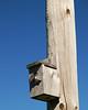 Hirondelle bicolore - Route Verte #4 (Campagnarde)