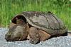 Tortue serpentine creusant pour déposer ses oeufs - Route Verte #4 (Campagnarde) , Roxton Falls.