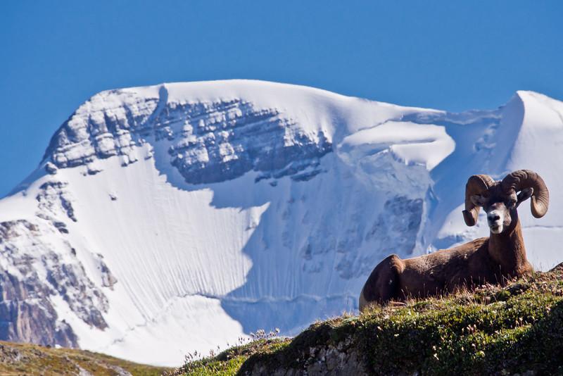 Bighorn Sheep & Mt Athabasca