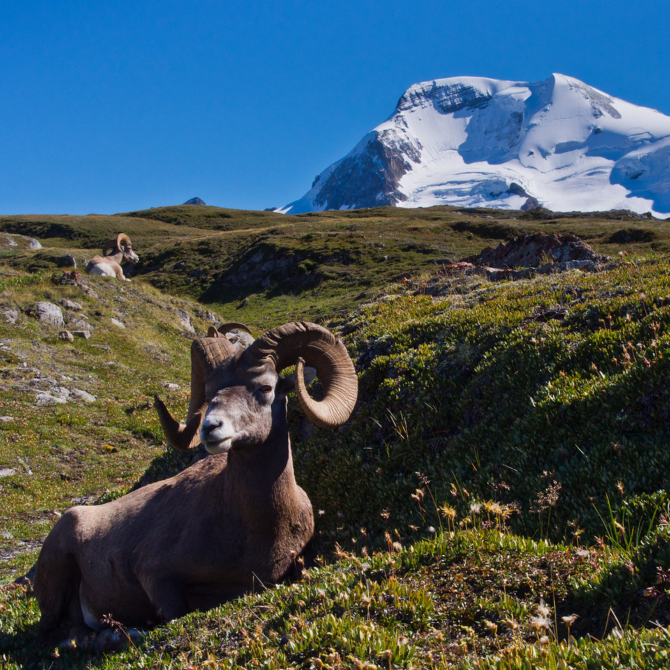 Bighorn Sheeps & Mt Athabasca