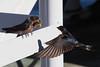 Swallows at Porteau Cove