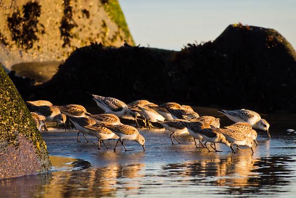 Shorebirds on the shore - West Coast Trail