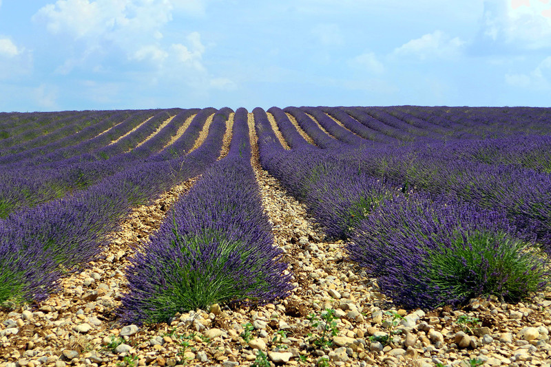 Plateau de Valensole; Provence