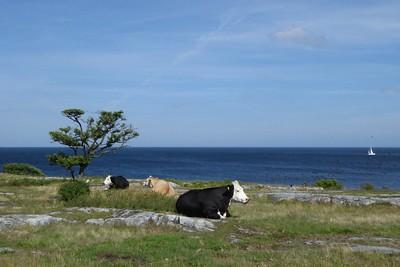 Kühe bei Skillinge