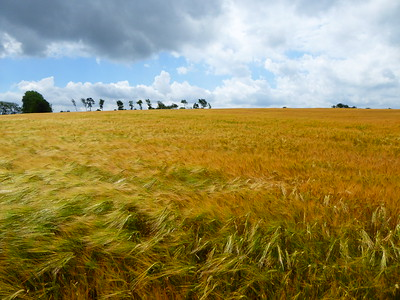 Weizenfeld bei Kivik