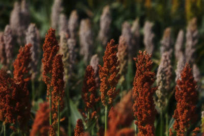 West Texas slide background: sorghum panicles