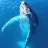 Portrait Of A Majestic Humpback Whale