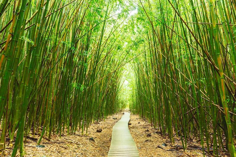 Bamboo Forest on the Waimoku Falls Trail; Haleakala National Park; Maui; HI