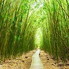 Bamboo Forest on the Waimoku Falls Trail; Haleakala National Park; Maui; HI