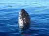 Humpback whale breaching the ocean