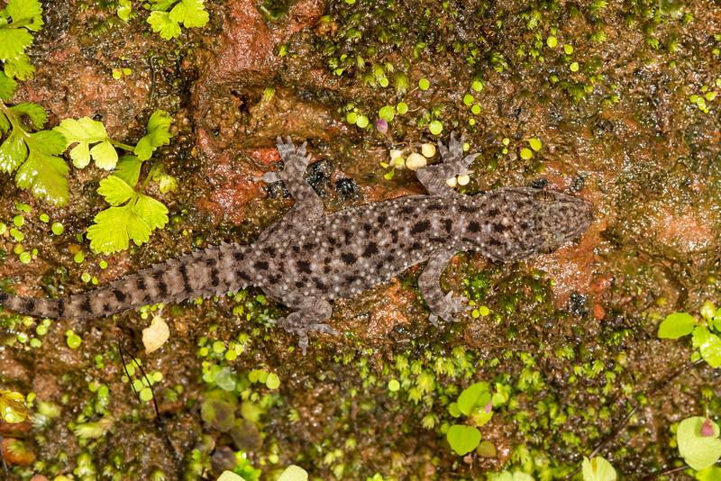 Brook's Gecko