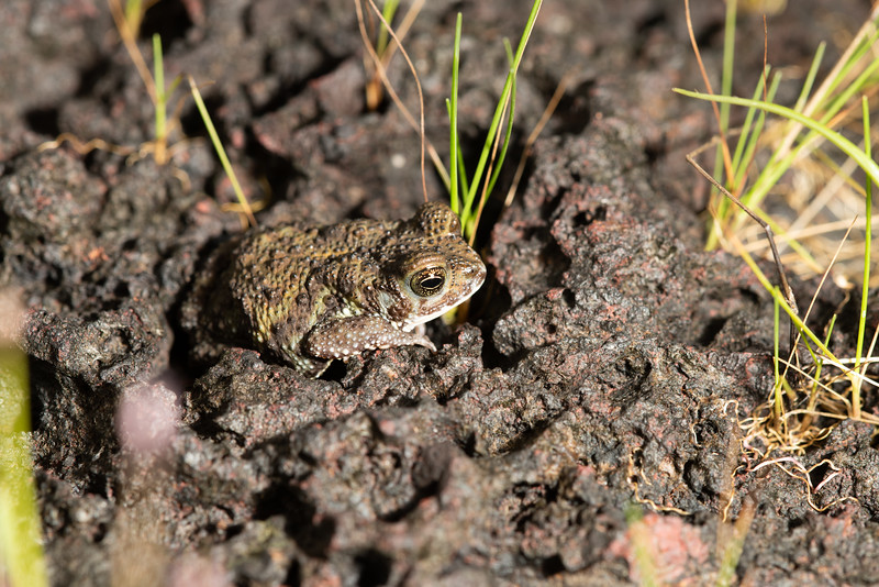 Amboli toad - about 5cm long