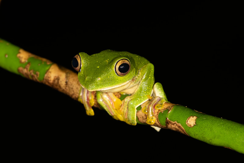 Malabar Gliding frog - reminds me of Kermit from Sesame street