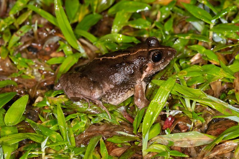 Cricket Frog (Limnonectes limnocharies)