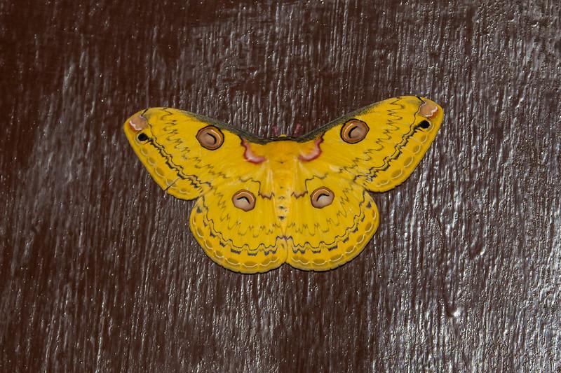 Gold Emperor Moth