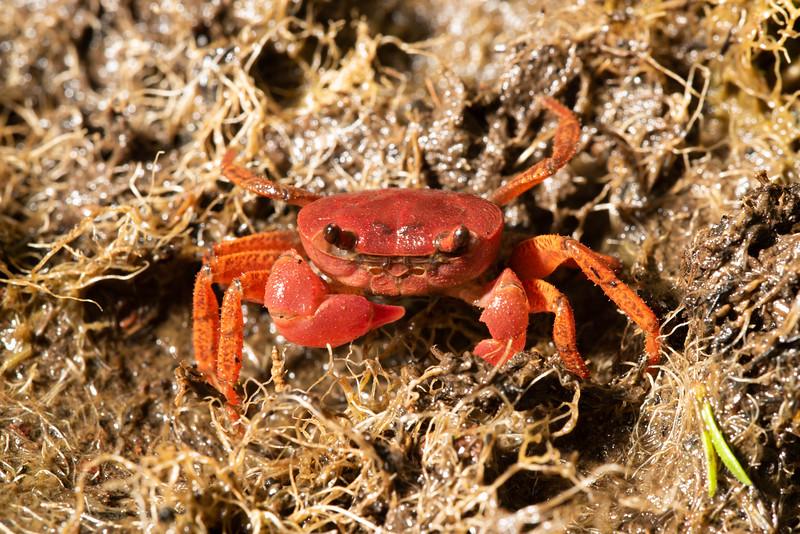 A tiny crab on latritic plaeau