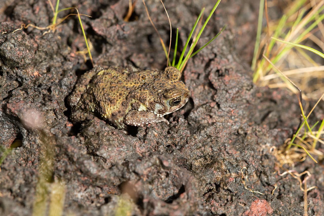 Amboli Toad (5 cm)