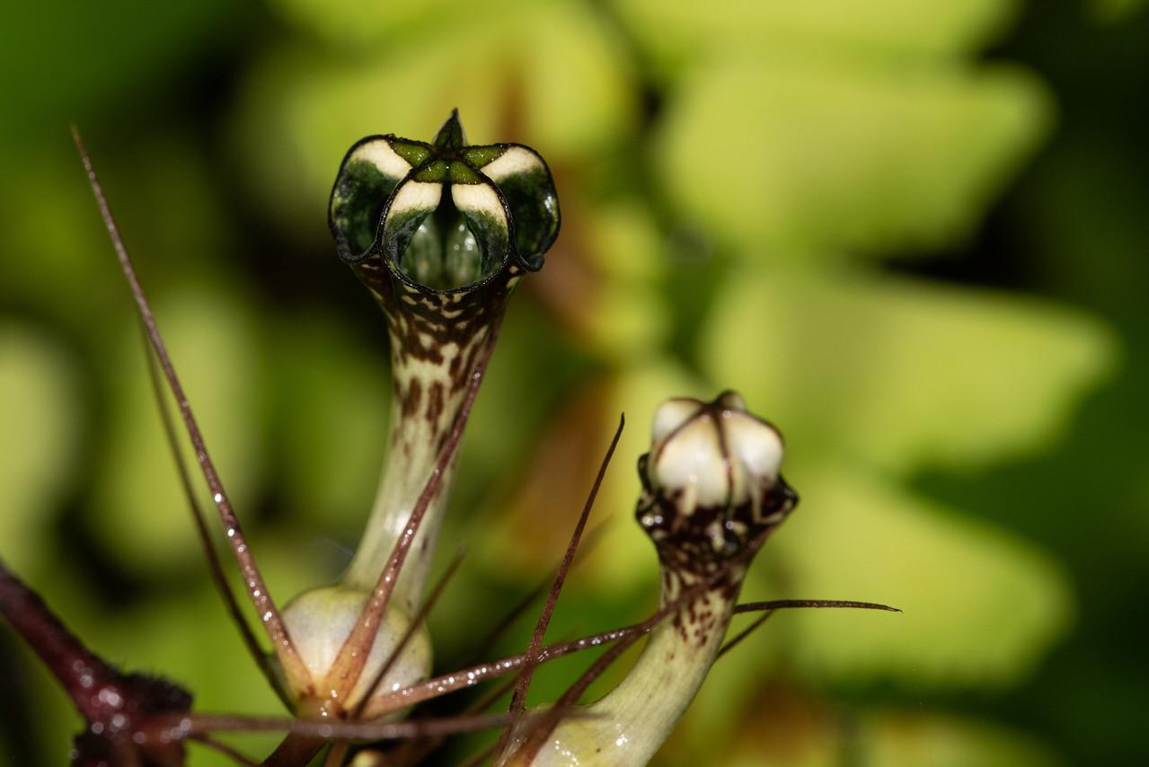 Ceropagia hirsuta flower