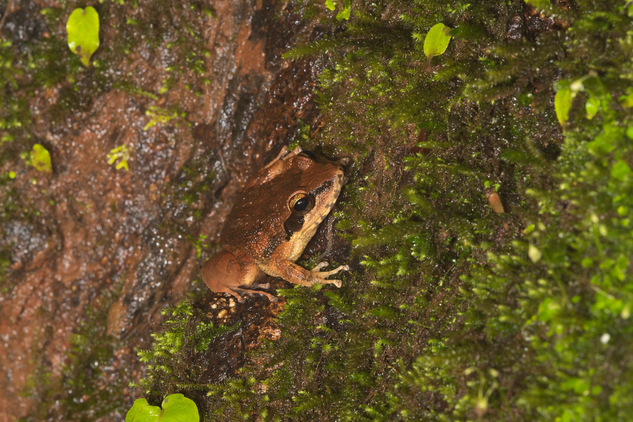 This Chiravasi (resident of laterite stone)  lays its eggs in tree moss