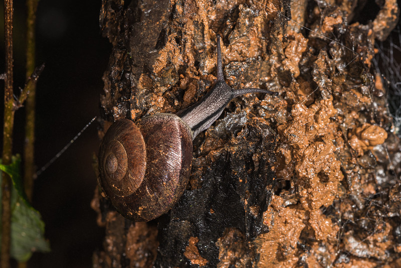 Large snail spotted in the night
