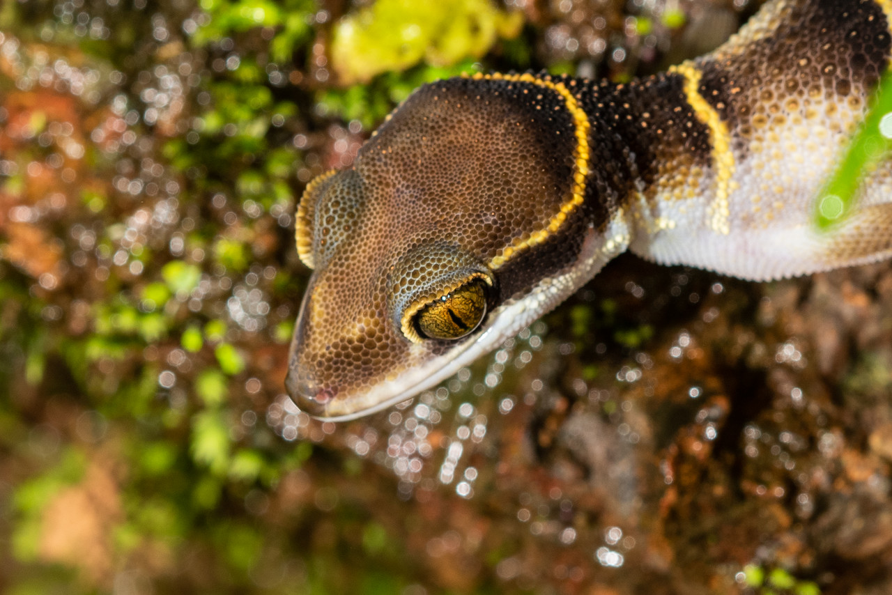 Banded gecko - amazing scale colouring above the eyes