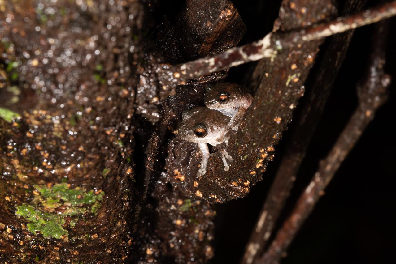 Bombay bush frog - mating pair