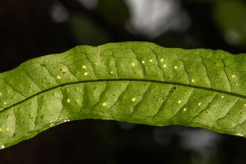 Underside of a Fern leaf growing on trees with spores