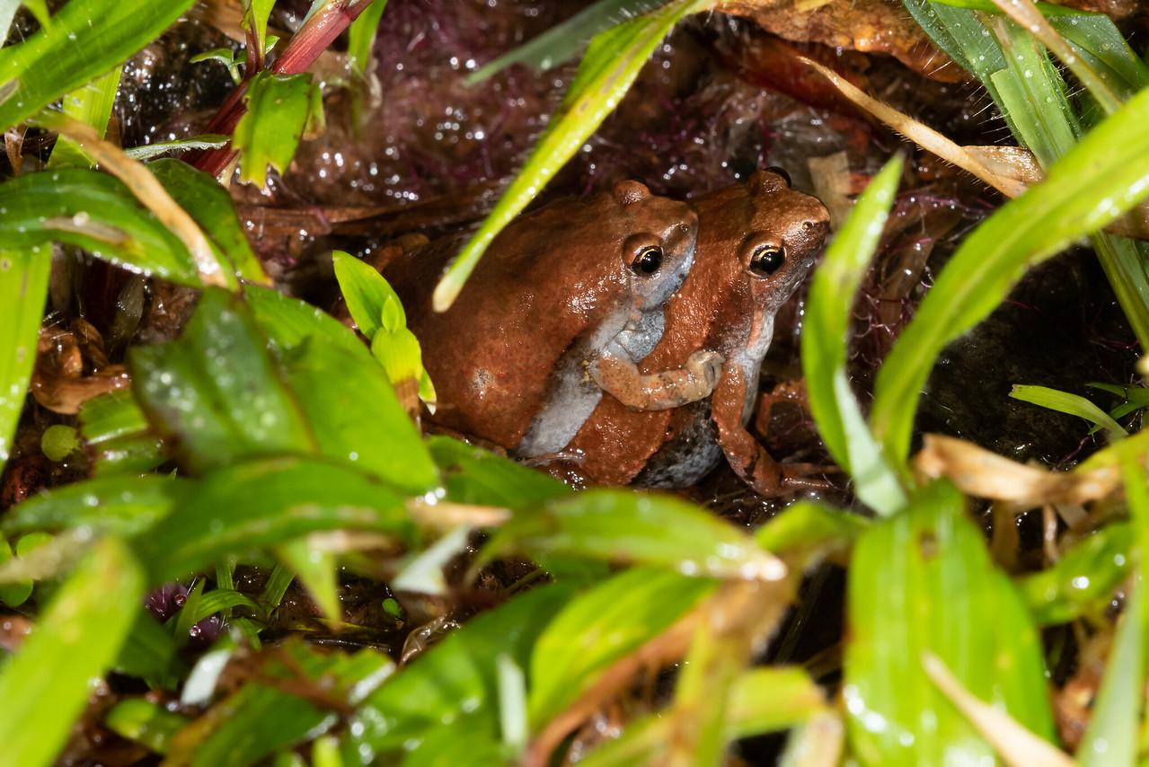Ornate Narrow-mouthed  Frogs ( Microhyla ornata)