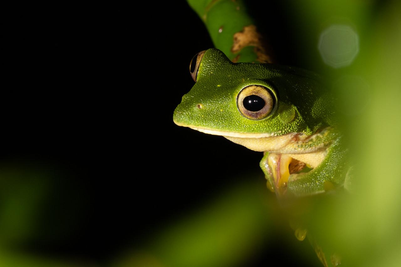 Malabar Giding Frog