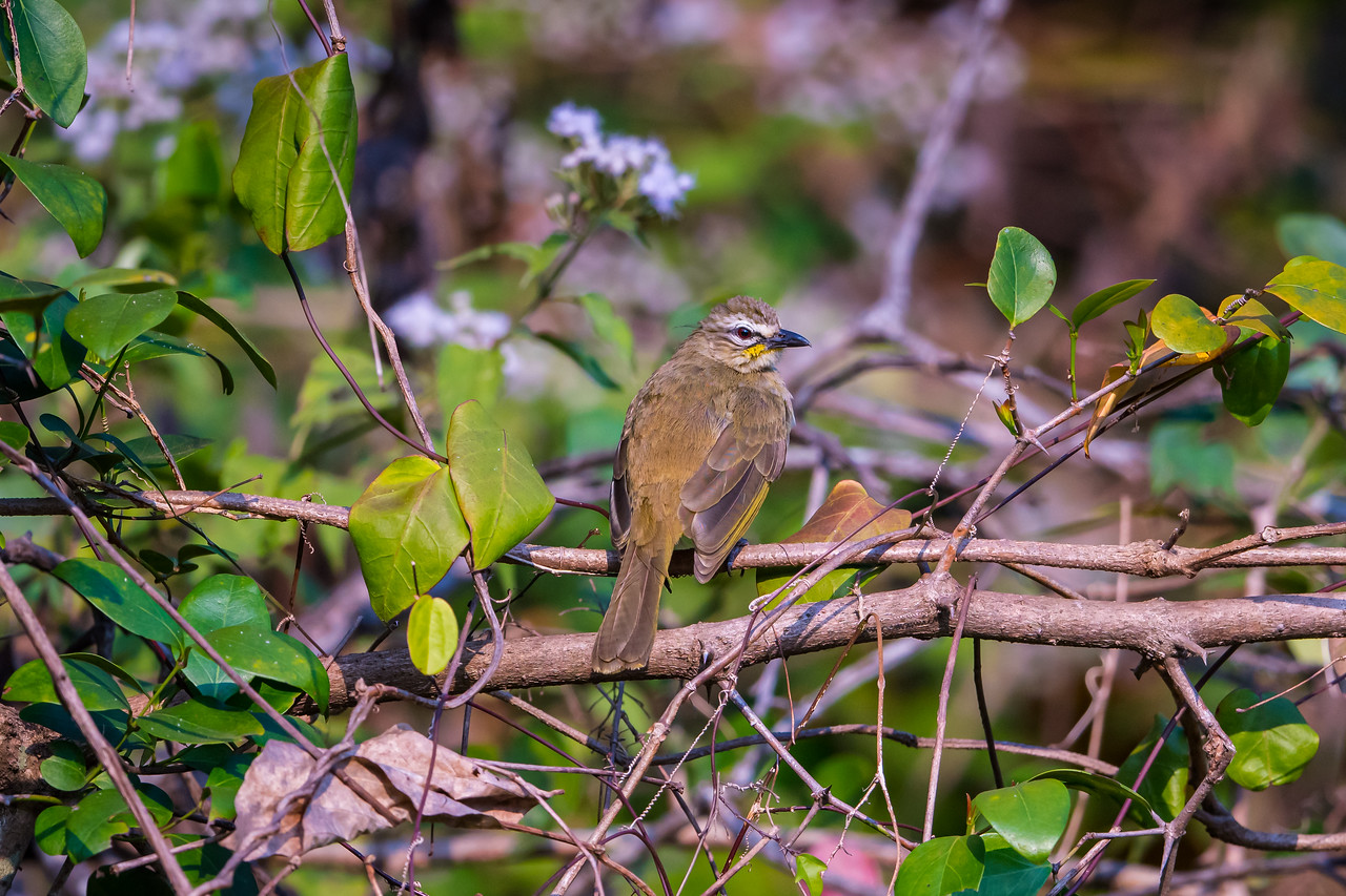 White-browsed Bulbul