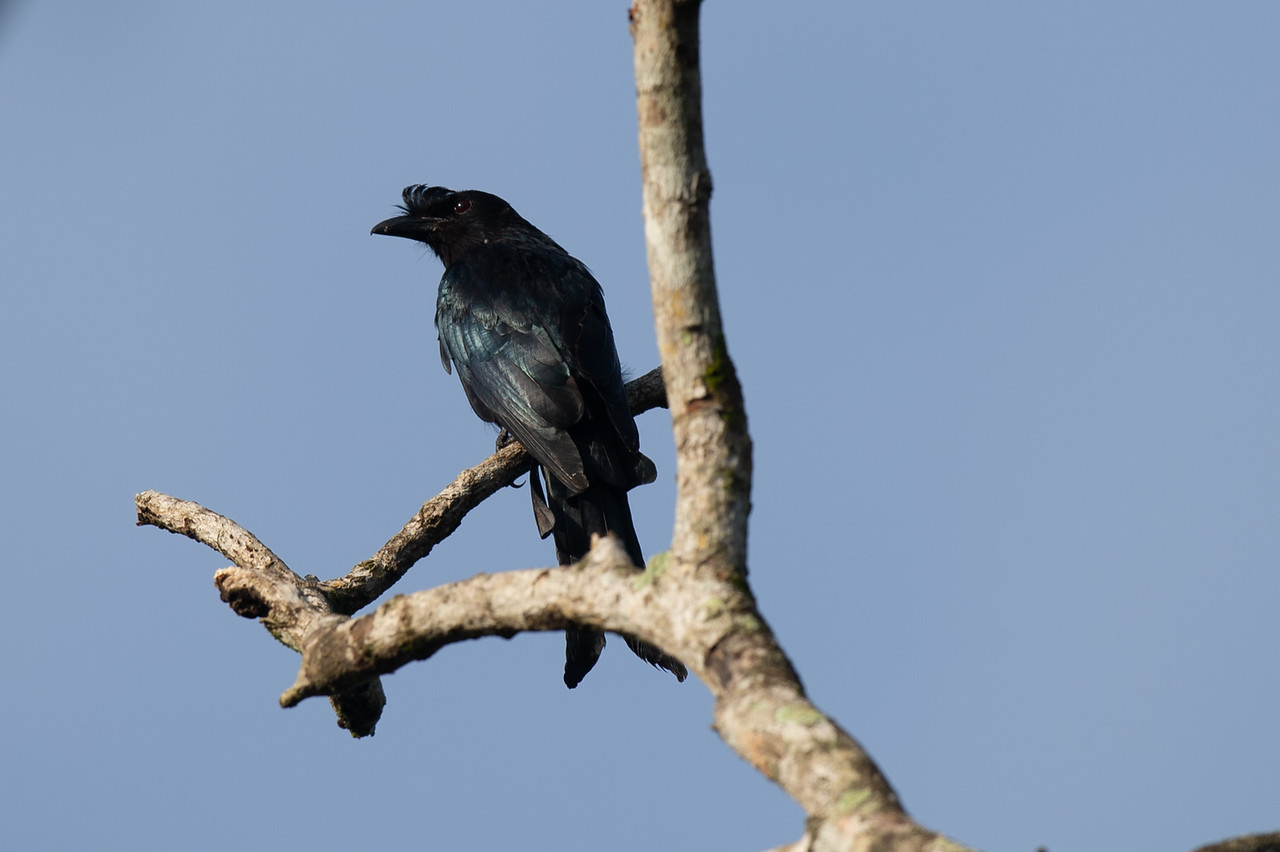 Racket-tailed Drongo