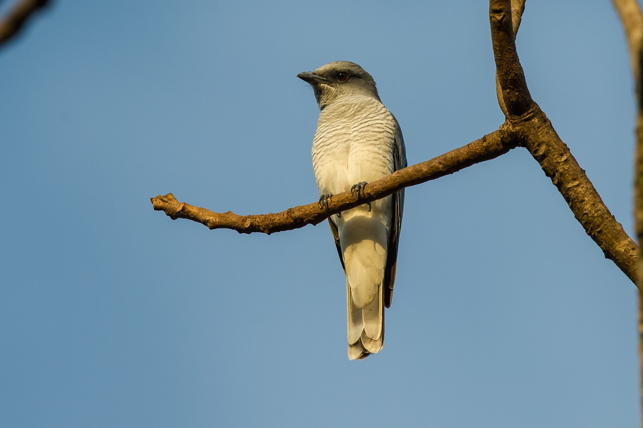 Large Cuckooshrike