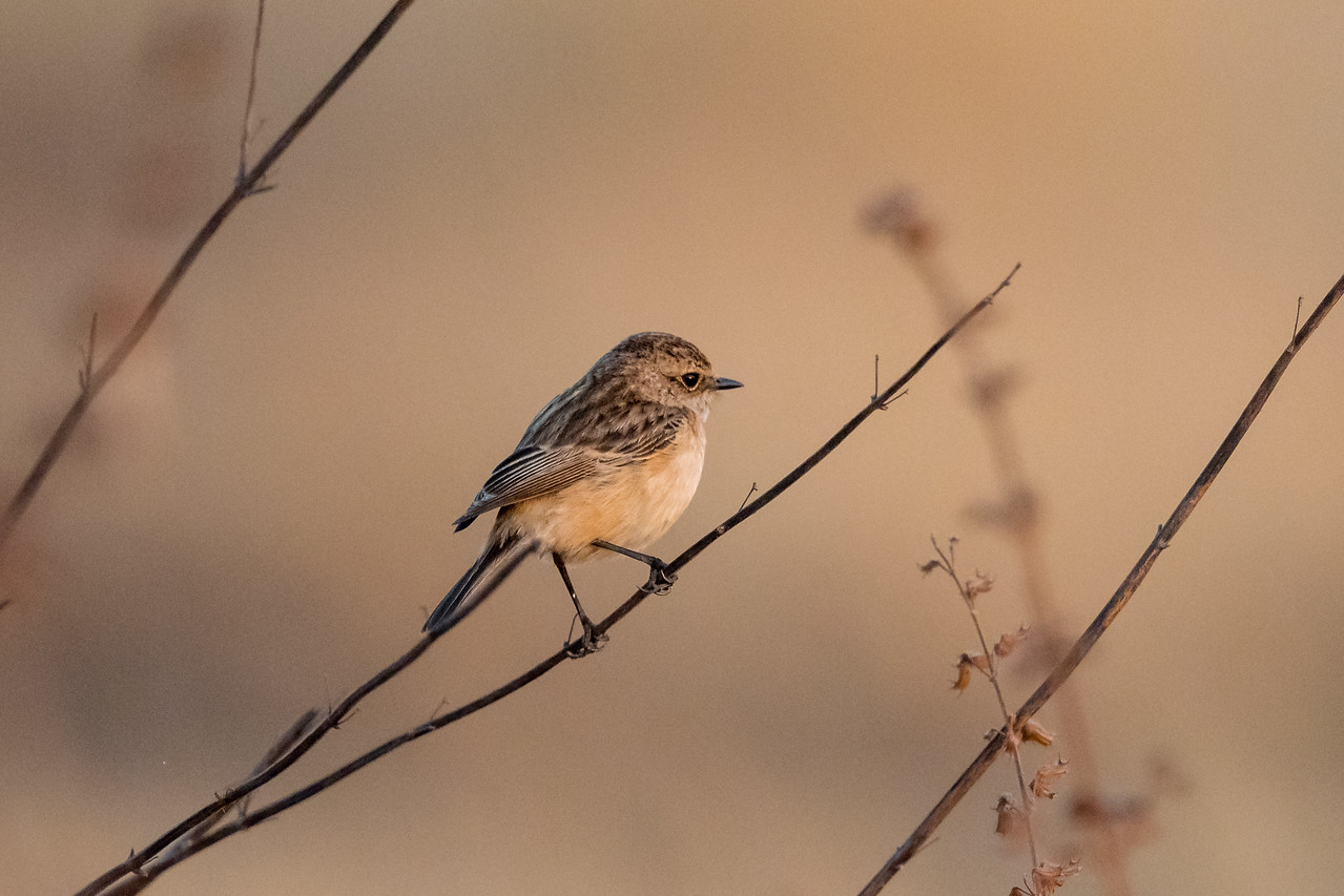 Common Stonechat (f)