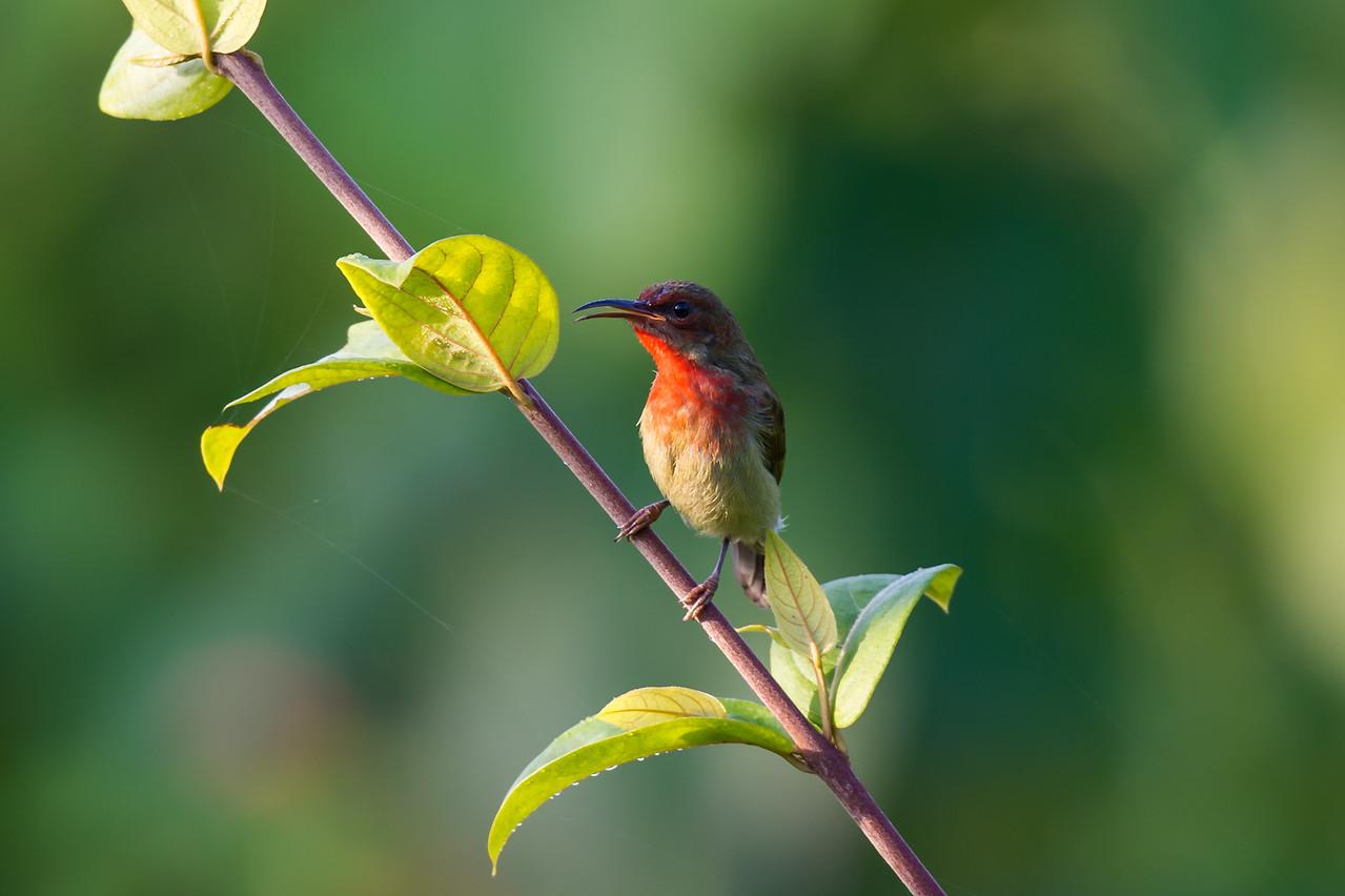 Vigor's Sunbird (subadult)