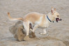 Dog is digging happily !  Santa Monica Beach 04-19-10