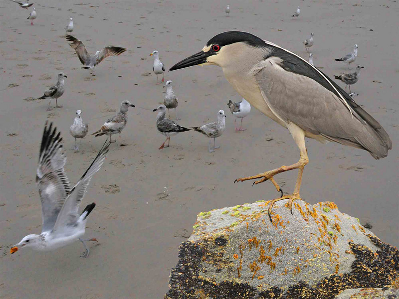 I captured images of this night heron as it sat on a railing of the Santa Monica pier early one morning - summer of 2010