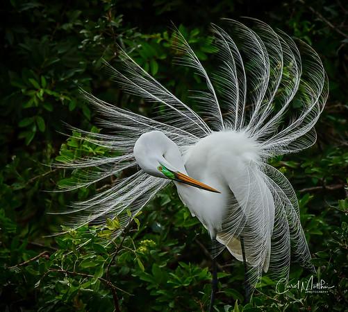 Egret pinwheel