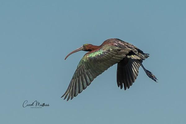 Glossy Ibs in flight