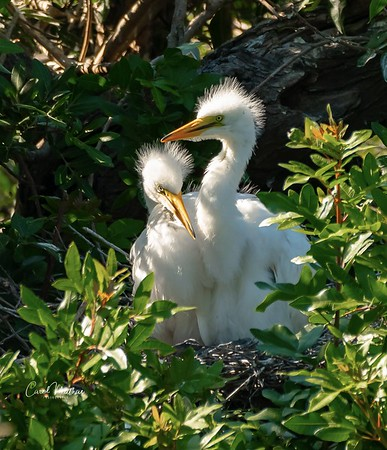 Baby Egrets growing up