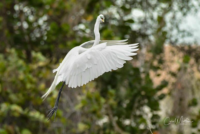 I'm just a wild and crazy egret-2