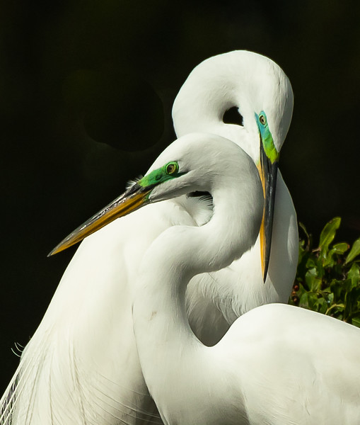 Egret love birds