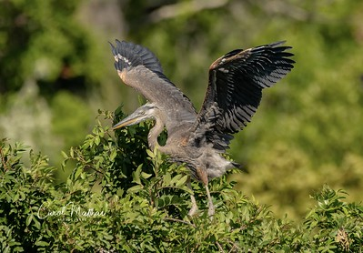 GBH juvenile...new wings to show off ... but can't fly yet