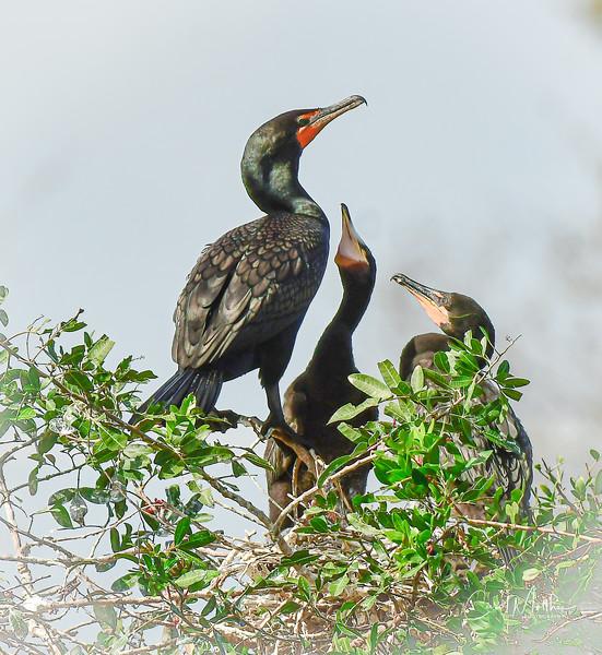 The baby cormorants
