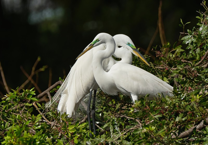 Egret Lovers