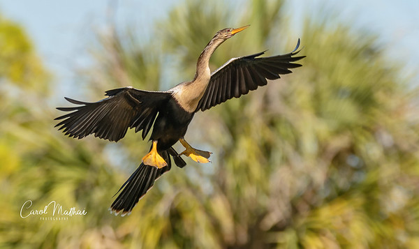 Regal Anhinga in a burst