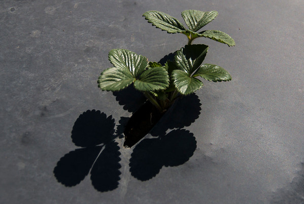 strawberry shadow