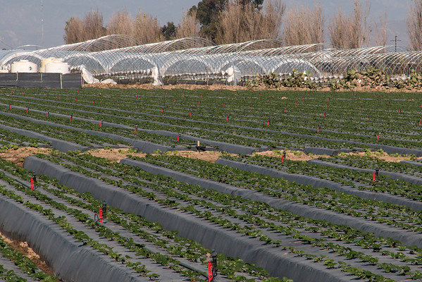 more tunnels for California berries
