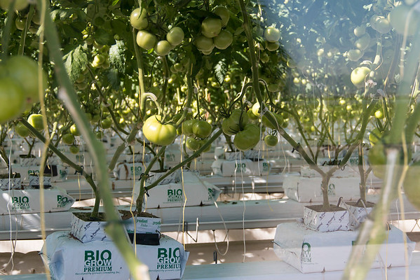 substrate tomatoes in greenhouse
