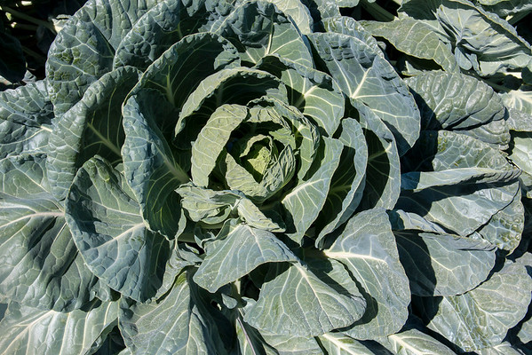 cabbage family giant