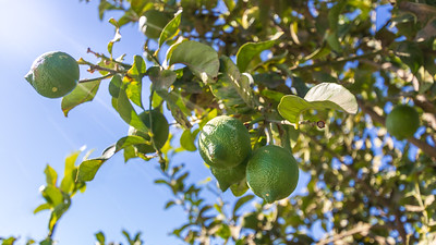 limes hanging on branches